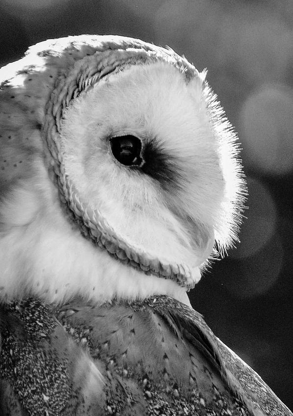 barn-owl-up